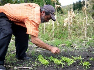 Juan Bello tenderly cares for a new crop of peppers.
